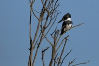 Belted Kingfisher    or Ceryle alcyon