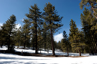 Taking a stroll amoungst the tall trees in the snow at Mount Pinos, Frazier Park, California