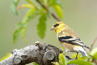 45% crop Male America Goldfinch    or Carduelis tristis