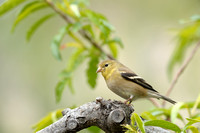America Goldfinch    or Carduelis tristis