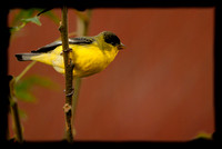 Male Lesser Goldfinch (Western variety) - -  I think