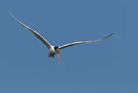 TIFs or Terns In Flight # 19