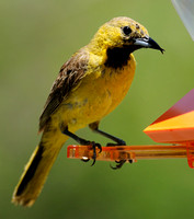 Hooded Oriole     or Icterus cucullatus      X
