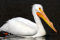 Adult White Pelican