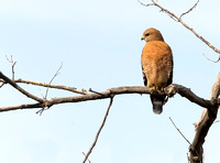 Red-shouldered Hawk   or Buteo lineatus