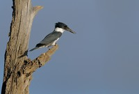 Belted Kingfisher   II or Ceryle alcyon
