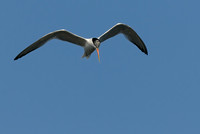 TIFs or Terns In Flight # 11