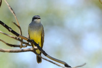 Western Kingbird (I think - need to get confirmed)    or Tyrannus verticalis