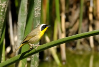 Common Yellowthroat      or Geothlypis trichas