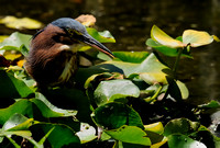 """It Tasted This Good!""  Adult Green Heron IX or Butorides virescens"
