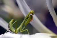California Preying Mantis