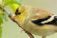 100% crop Male America Goldfinch    or Carduelis tristis
