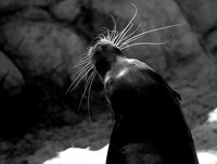 California Sea lion Version II B&W