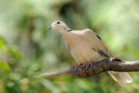 Ringed  Turtle-Dove   or Steptopelia risoria