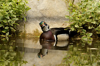 Male Wood Duck    or Aix sponsa      XV