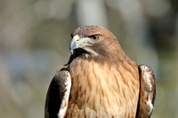 Red-tailed Hawk    or Buteo jamaicensis