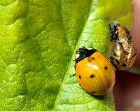 Seven-spotted LadyBug/Beetle   or Coccinella septempunctata