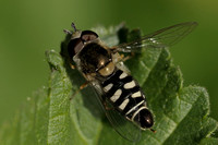Hover Fly    or Eupeodes volucris