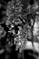 Vertical Blooming Wisteria in B&W