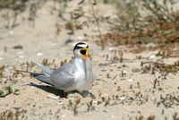 Least Tern Still on the Job