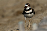 Mrs Killdeer   or Charadrius vociferus