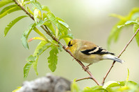 Male America Goldfinch    or Carduelis tristis