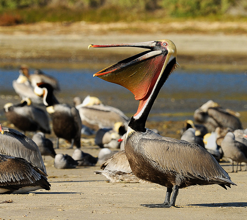 Composite shot of Breeding Brown Pelican in Malibu Lagoon Reserve