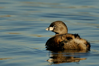 Pied-billed Grebe in Winter plumage  or Podilymbus podiceps