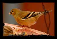 Female Lesser Goldfinch (Western variety) - -  I think