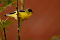 Male Lesser Goldfinch (Western variety) full shot - -  Confirmed