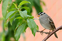 Adult White-crowned Sparrow II     or Zonotrichia leucophrys