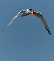 TIFs or Terns In Flight # 14