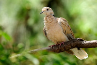 Ringed Turtle-Dove    or Streptopelia risoria