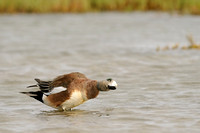 Male American Wigeon    or Anas americana