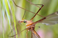 Cranefly or Crane fly      Scientific name     Tipula paludosa and T. oleracea (Diptera:Tipulidae)