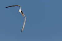 TIFs or Terns In Flight # 6