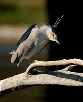 Black-crowned Night-Heron    or Nycticorax nycticorax  VII