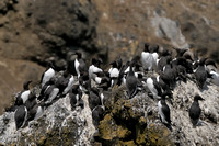 Common Murre     or   Uria aalge      IV